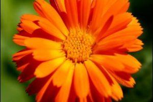 Biljka neven – Marijino zlato