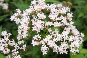 Biljka valerijana (Valerijana officinalis)