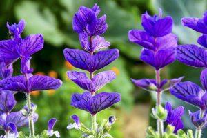 Biljka žalfija (Salvia officinalis)