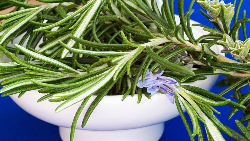 Ruzmarin Salvia rosmarinus